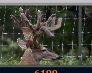 Deer for sale