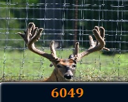 whitetail breeders
